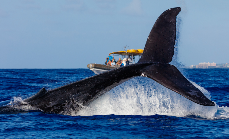 whale-in-hawaii